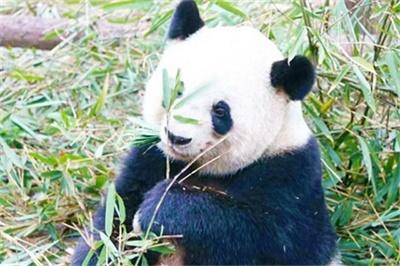 熊猫基地、乐山大佛精华一manbext万博官方,万博手机版登录官网万博manbext网页版